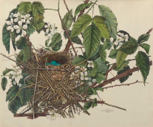 Birds Nest 2. Image by  BioDivLibrary