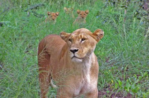 Lioness. Image by Sam and Ian